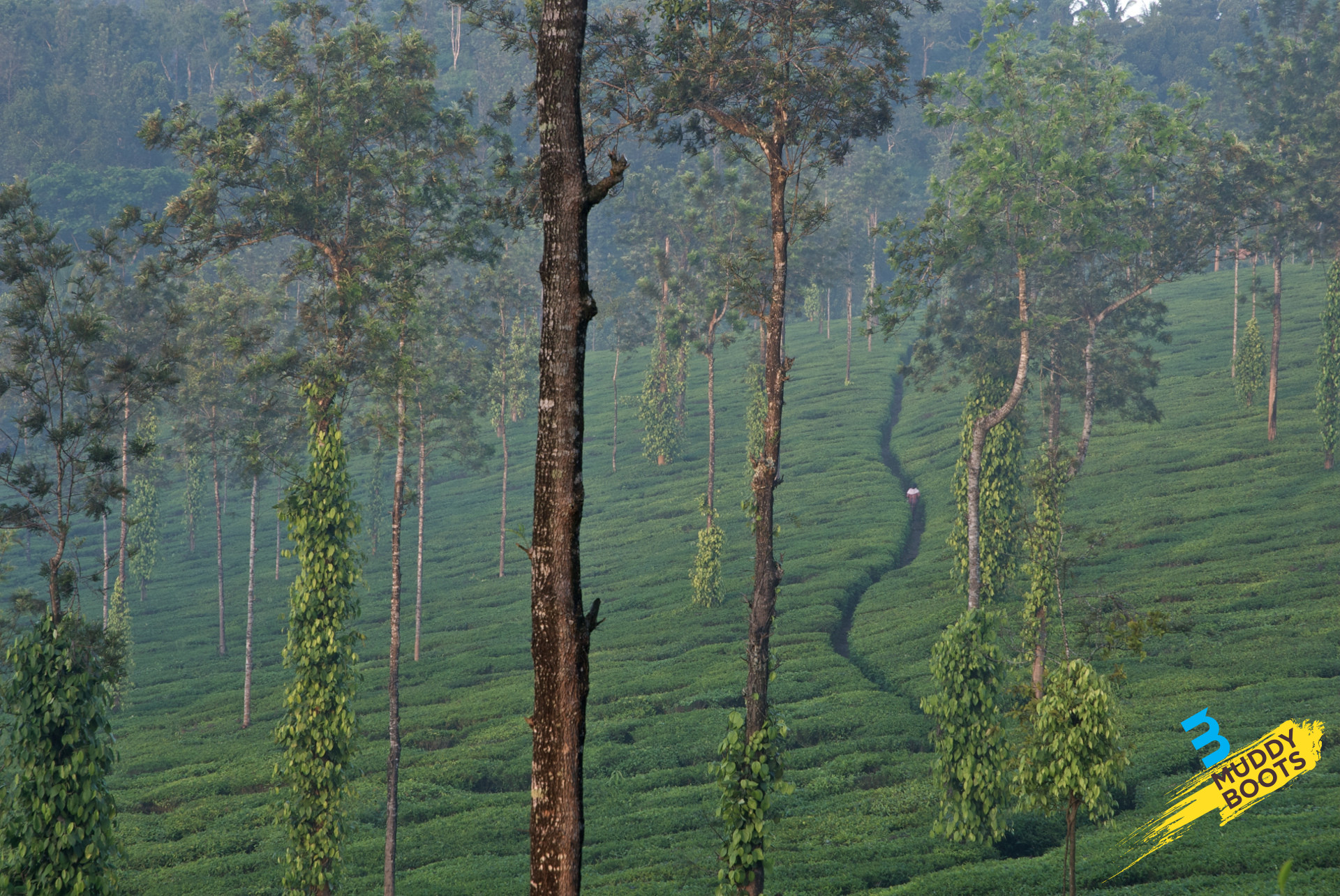 Tea_Estate